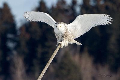 Snowy Owl - Billiard Cue-Stick Bird