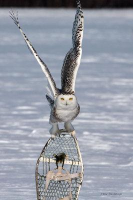 Snowy Owl - Snowshoe Jockey