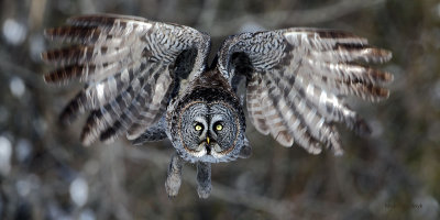 Great Grey Owl Once Again!
