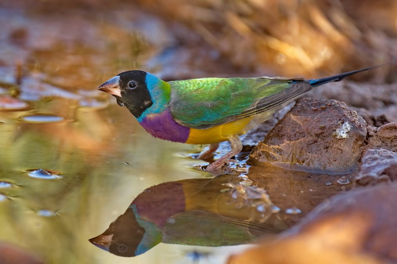 Gouldian Finch in the Wild