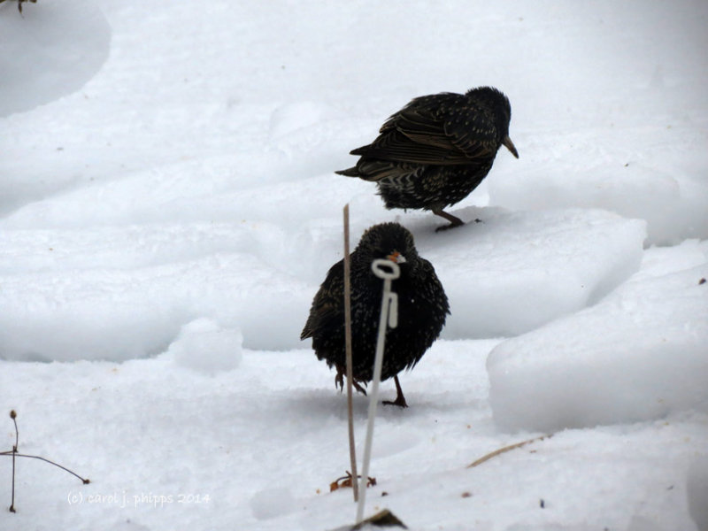 Starlings on the Ice.