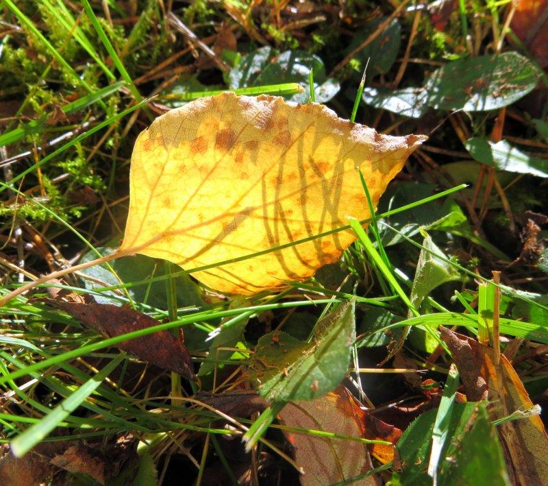 Leaf Of Birch