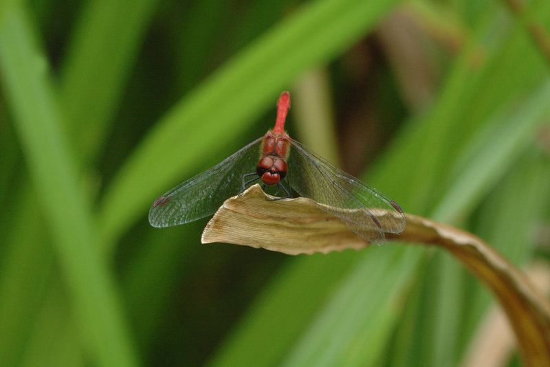 Ruddy Darter/ Blodrød hedelibel