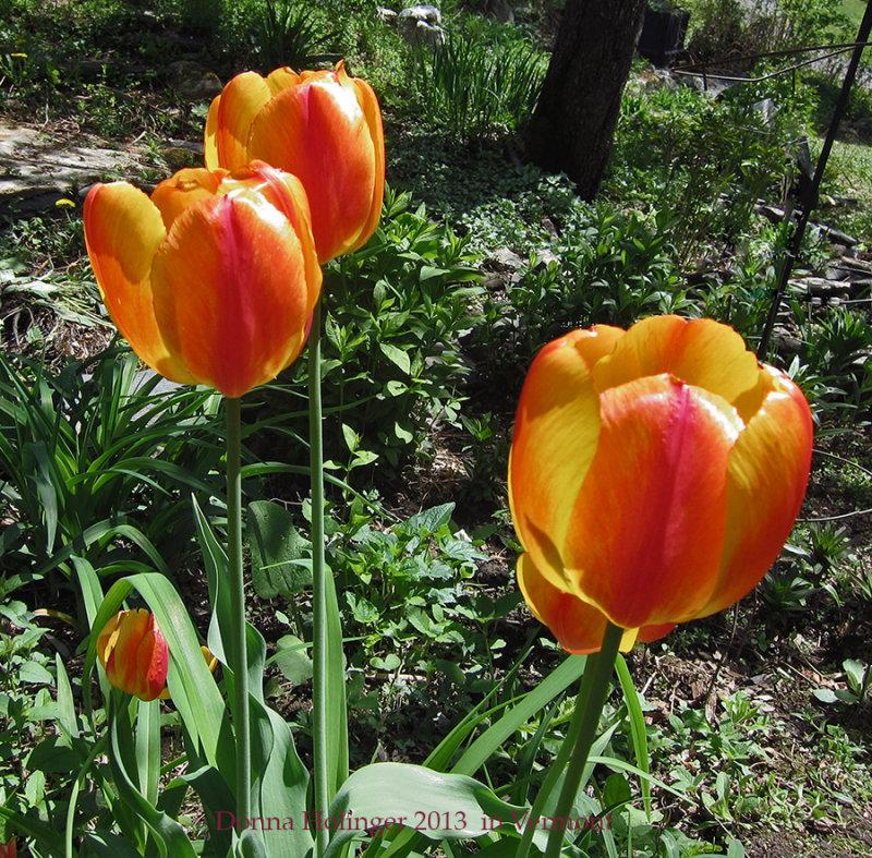 Lees Tulips