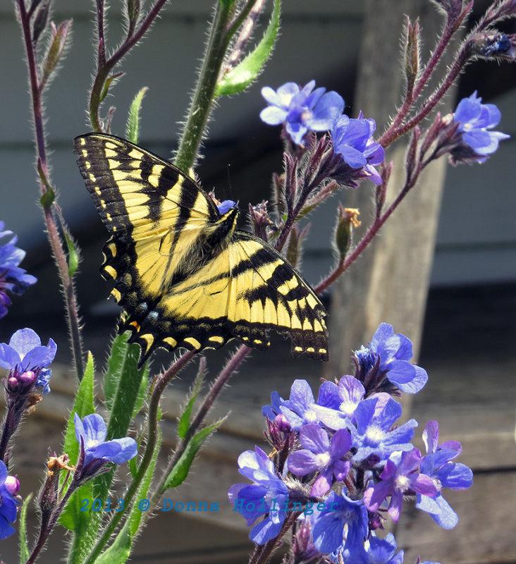 Swallowtail on Bugloss
