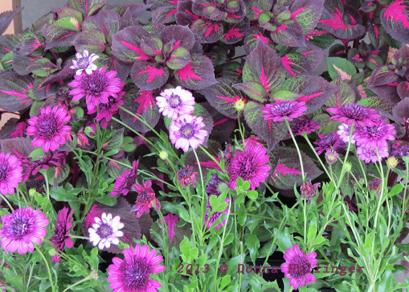 Osteosperma, reds and pinks