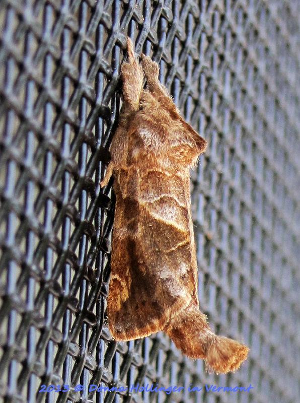 Notodontidae: Clostera  Thank you bugguide!!