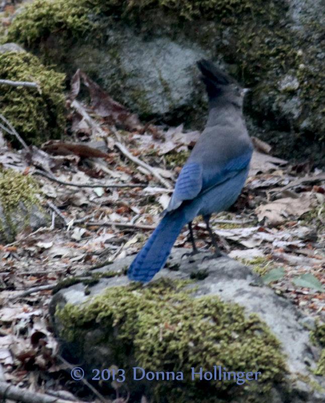 Stellers Blue Jay