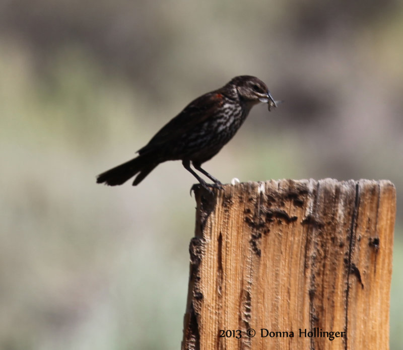 Female Redwing Blackbird with a Dragonfly
