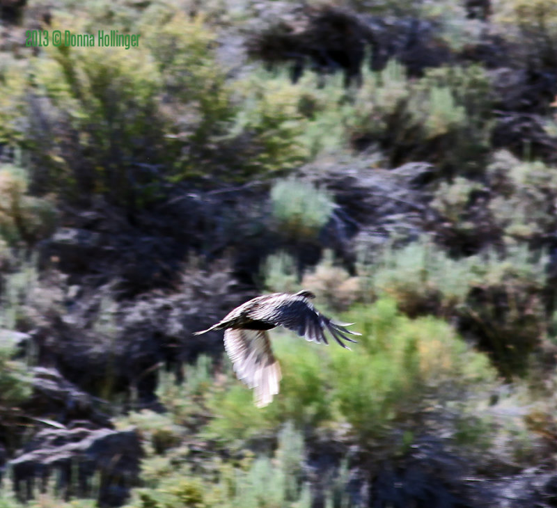 Flying Sage Grouse