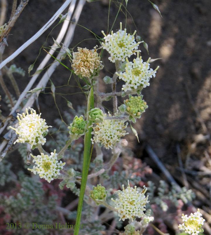 Mariposa Wildflower