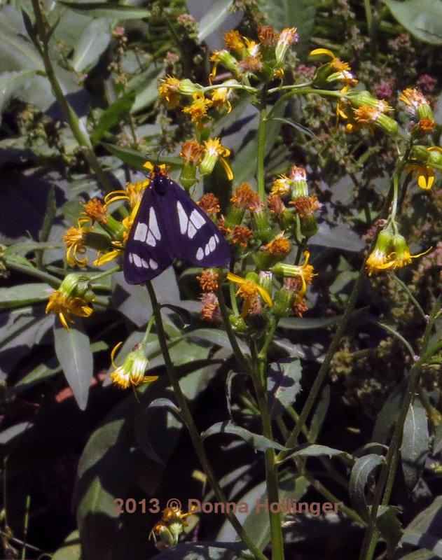 Moth on St Johns Wort