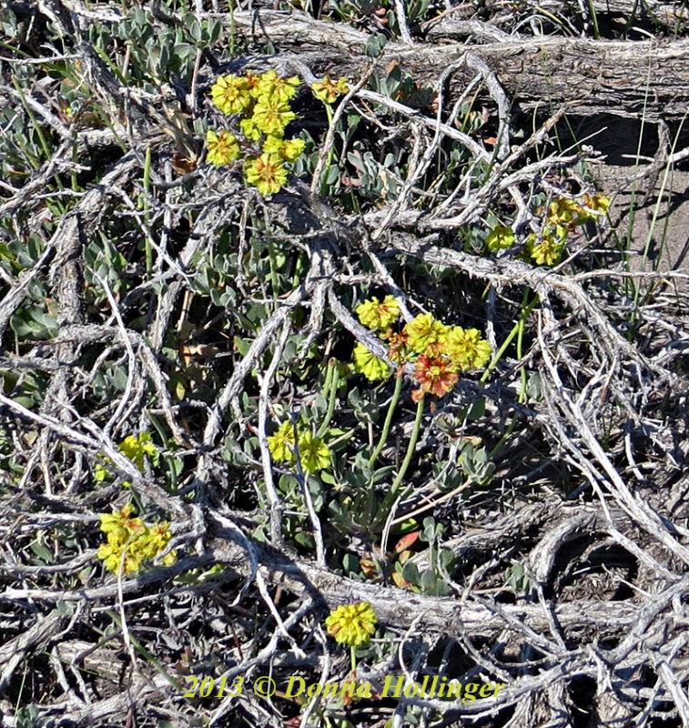 Wildflower at Bodie