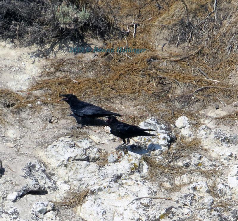 Juvenile Ravens Begging Food