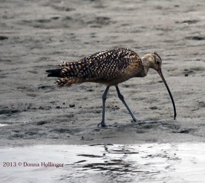 Female Long Billed Curlew