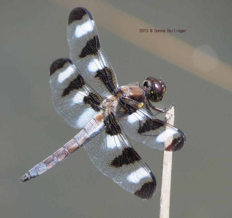 12 Spotted Skimmer (male) Libellula pulchella