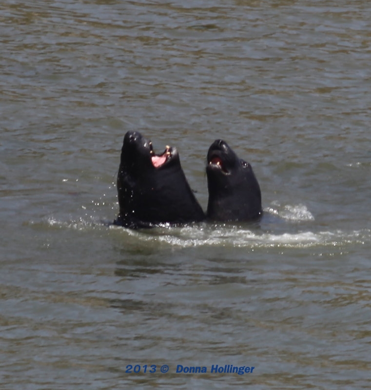 Singing in the Rain, Two Elephant Seals