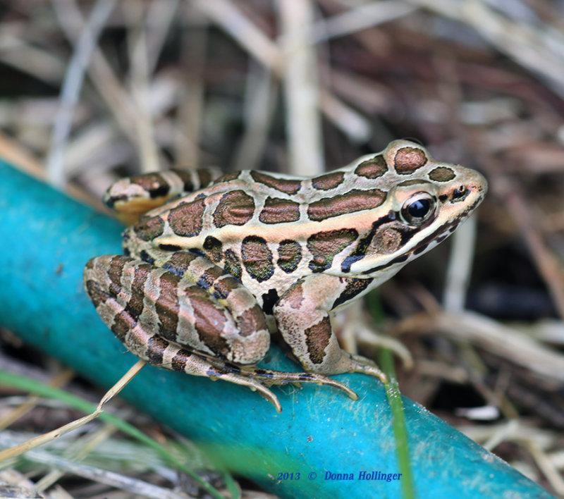 Pickerel Frog on Hose