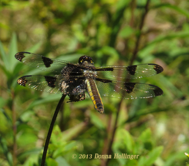 Twelve Spotted Skimmer (female)