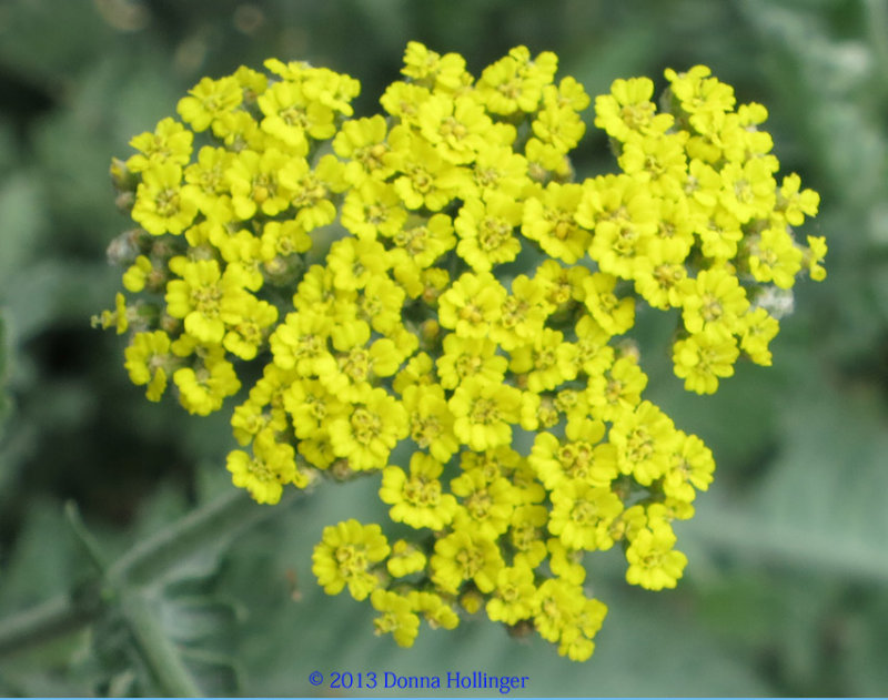 Yellow and Gray-Green Yarrow