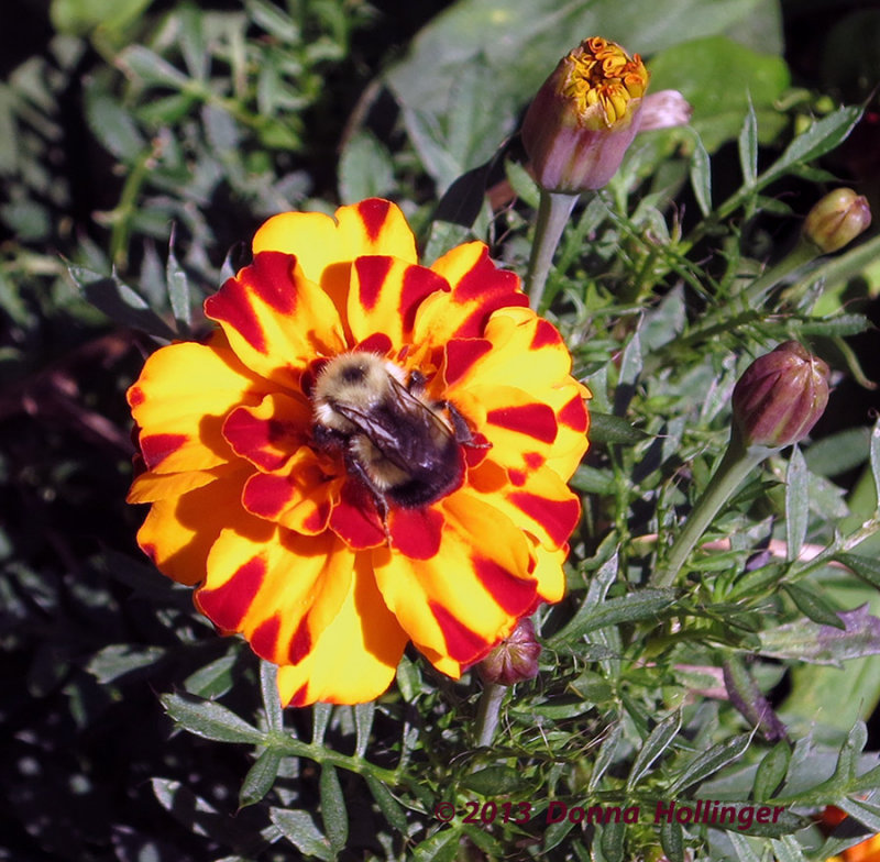 Marigold with Bumble Bee Center