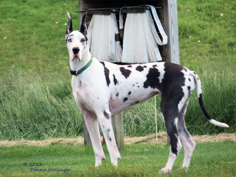 Big Ears Great Dane