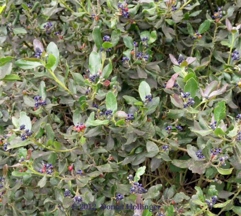 900.blueberry.4958.copy.jpg