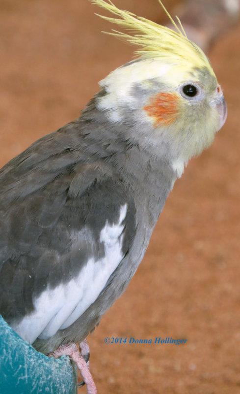 Nymphicus hollandicus,  Cockatiel