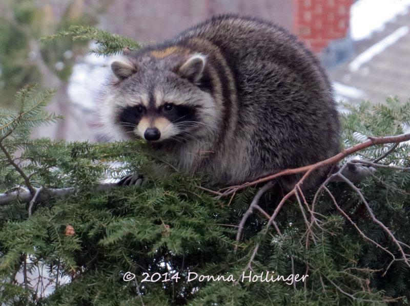 Raccoon in the Spruce Tree