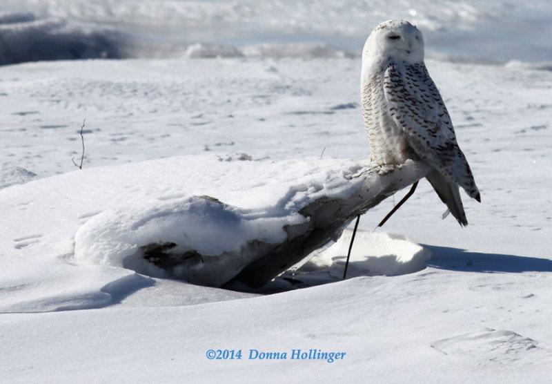 Snowy Owl Right on the Beach