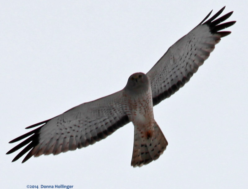 Northern Harrier 1st winter