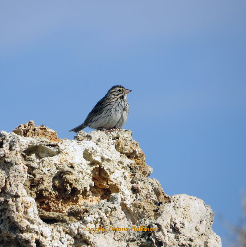 Sparrow on Tufa at Mono Lake