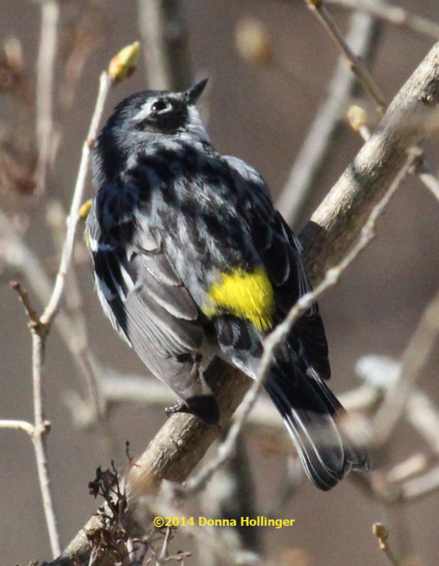 Myrtle Warbler in the Lilac