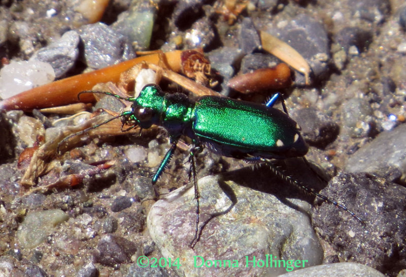 A Irridescent Tiger Beetle