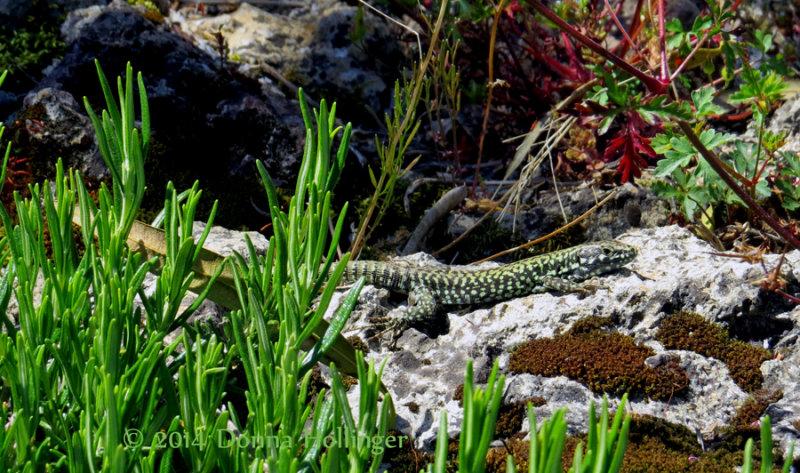 Lizard at MonteStigliano