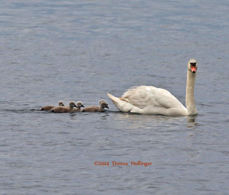 Swan with swanlings...