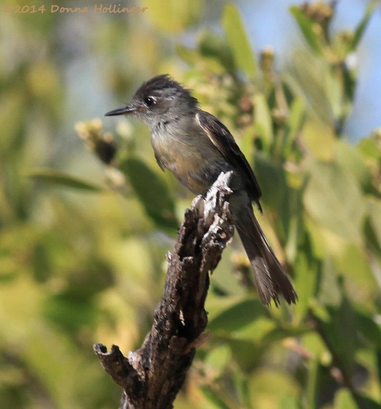 Contopus caribaeus, Cuban Pewee