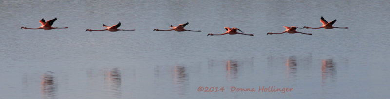 Six Flamingos Flying
