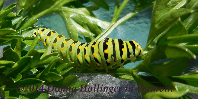Black Swallowtail Caterpillar (Papilio polyxenes)