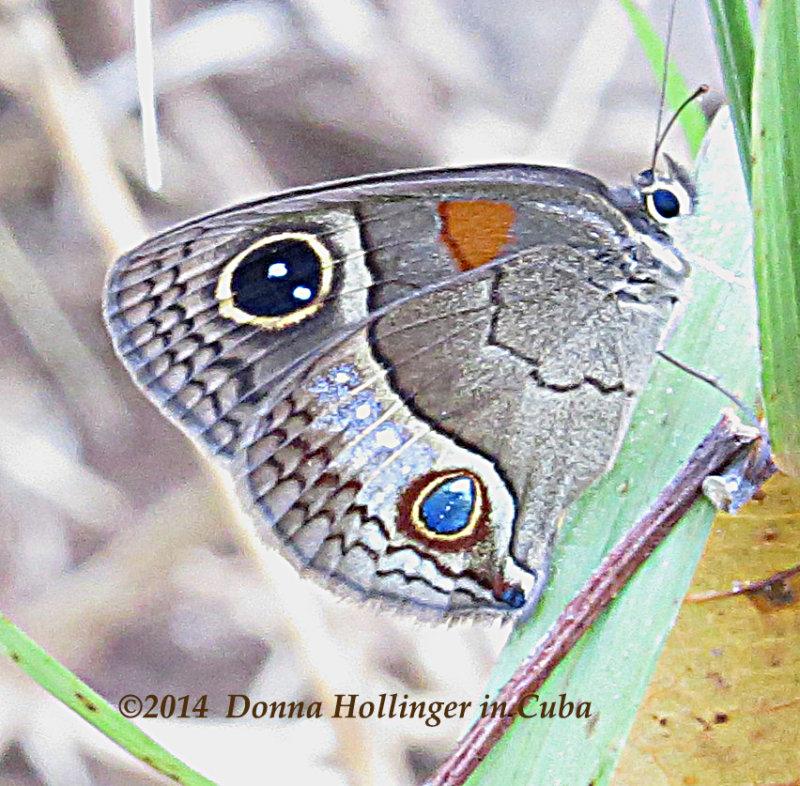 Cuban Butterfly