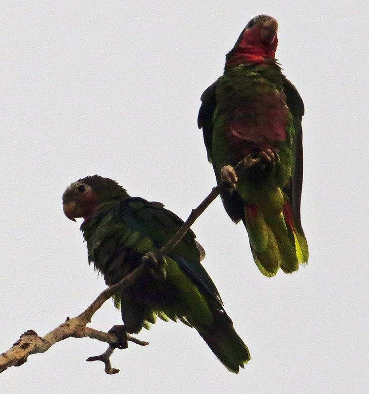 2 Cuban Parrots at Playa Larga