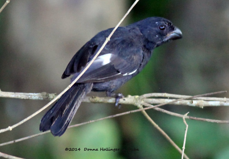 Cuban Bullfinch