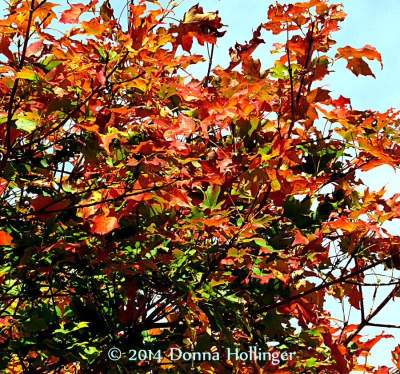 Maple Leaves Turning