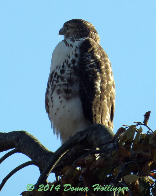 Red Tailed Hawk Immature