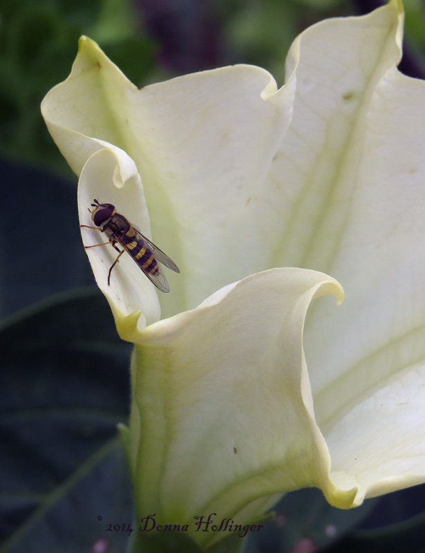 Creamy Datura Flower with Hoverfly