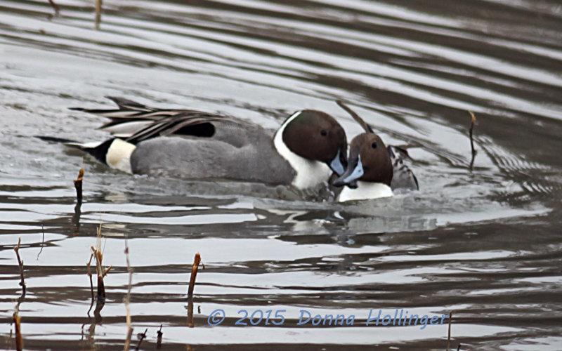 Duelling Blue Beak Pintails