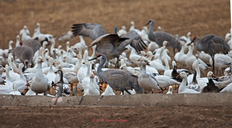 Some Sandhill Cranes Amongst The Geese