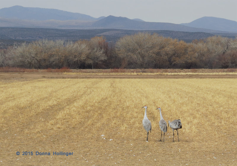 3 Cranes with a whole field to themselves