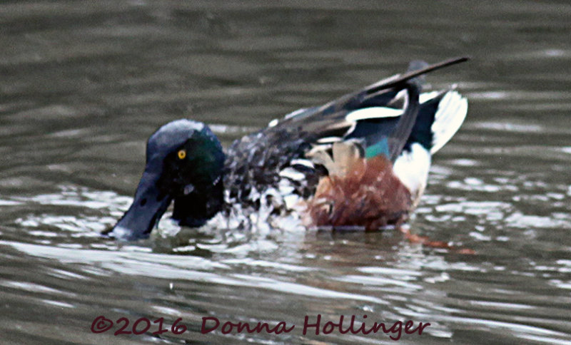 Northern Shoveler Skimming with his Spatulate Bill