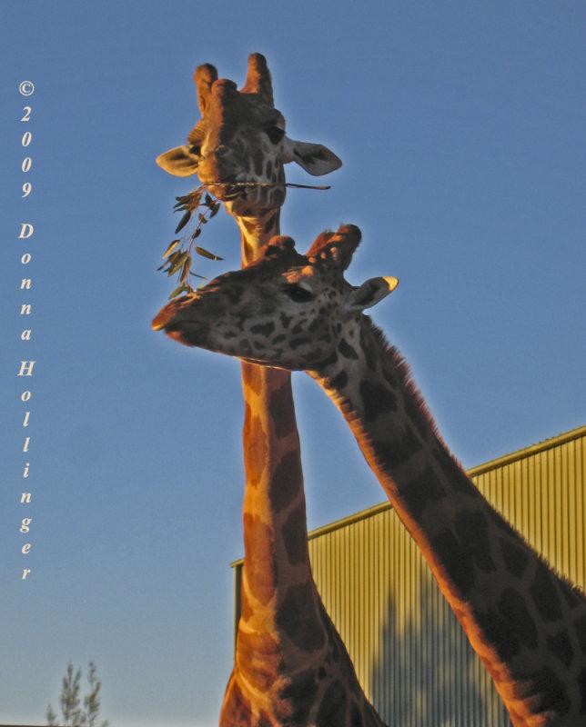 Male and Female Giraffes